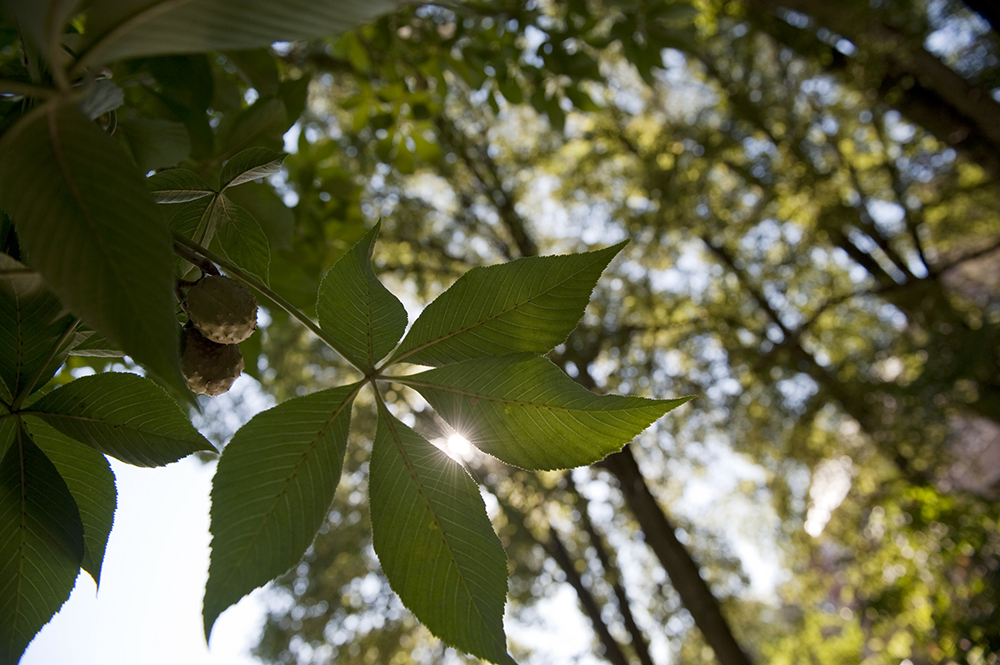 newark/uploads/04buckeye_leaf_5767.jpg